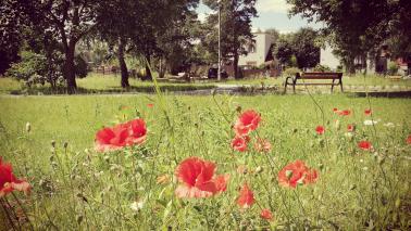 Czerwone maki w trawie.