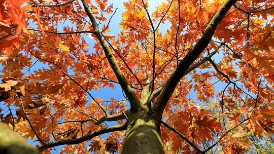 Jesienna korona drzewa na tle błękitnego nieba