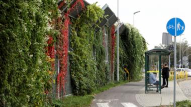 Ekran akustyczny porośnięty bujnym pnączem w jesiennych zielono-czerwonych kolorach, obok chodnik i przystanek autobusowy